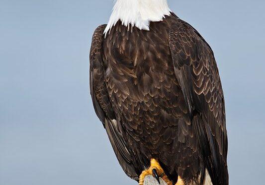 Bald Eagle erect